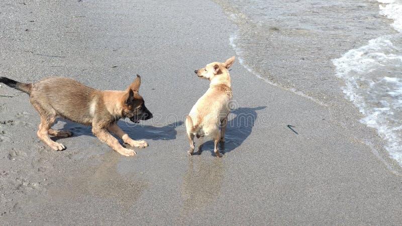 愉快地使用在海的小狗 库存照片