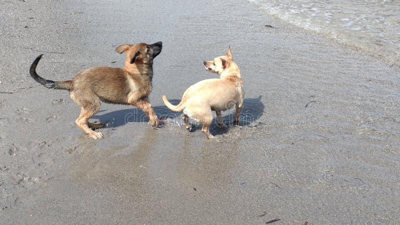 愉快地使用在海的小狗 免版税库存图片