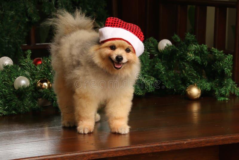 愉快地戴圣诞老人帽子的Pomeranian 免版税图库摄影