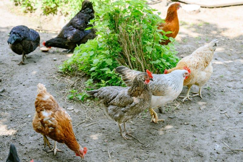 愉快的农厂母鸡-能承受的农场自由放养的母鸡在鸡庭院里 库存图片