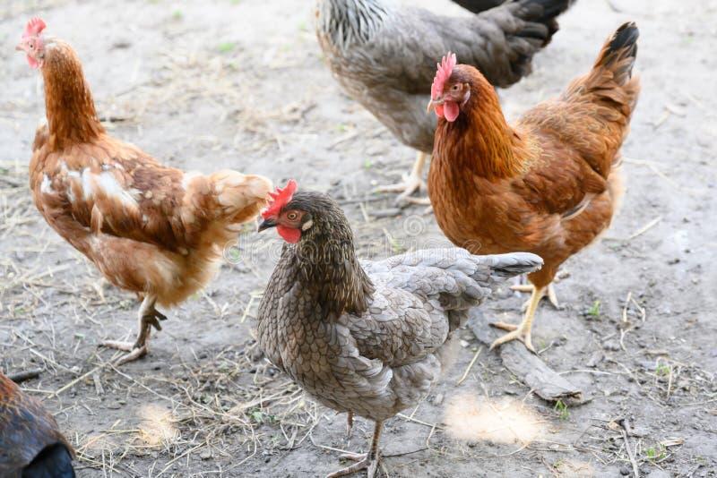 愉快的农厂母鸡-能承受的农场自由放养的母鸡在鸡庭院里 库存照片