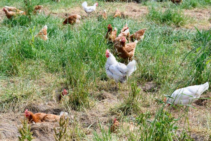 愉快的农厂母鸡-能承受的农场自由放养的母鸡在鸡庭院里 免版税库存照片