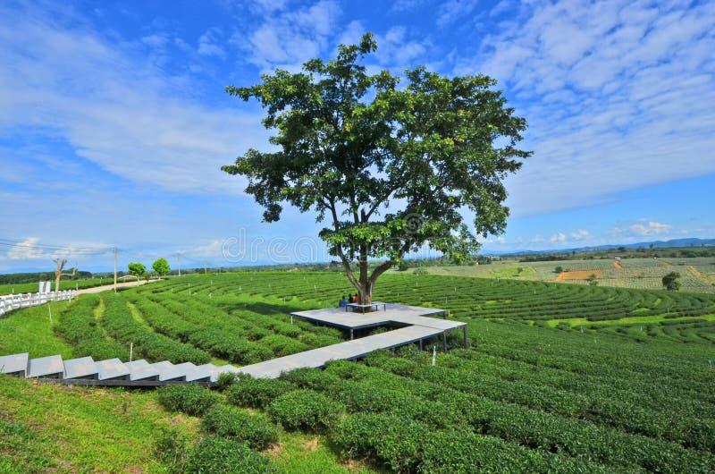 愉快的区域在大树下在茶农场 图库摄影
