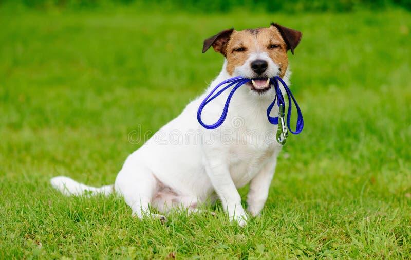 愉快的在绿草草坪的狗外部开会有在嘴的皮带的 免版税库存照片