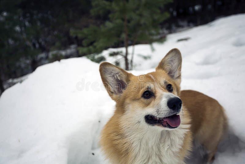 愉快的威尔士小狗彭布罗克角 库存图片