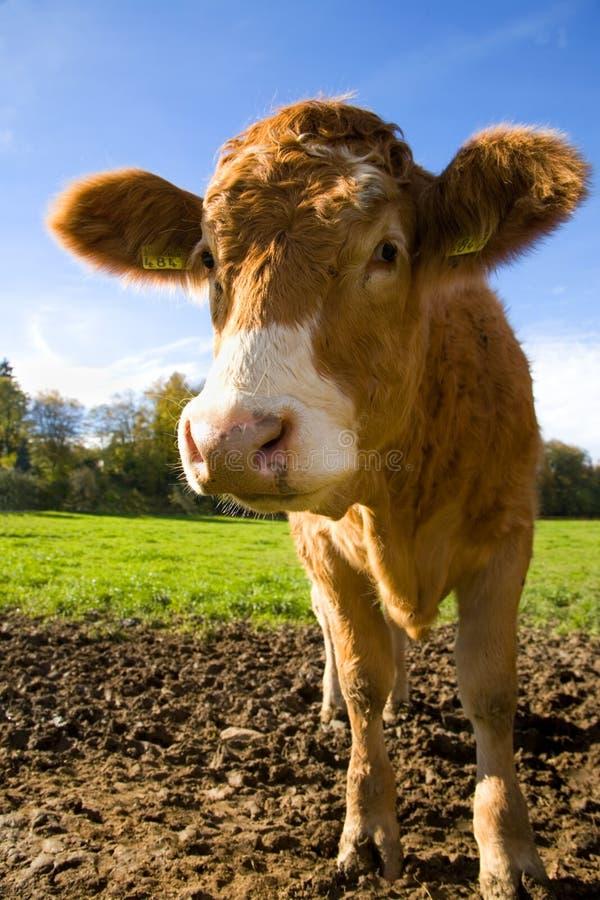 愉快的小牛 库存照片
