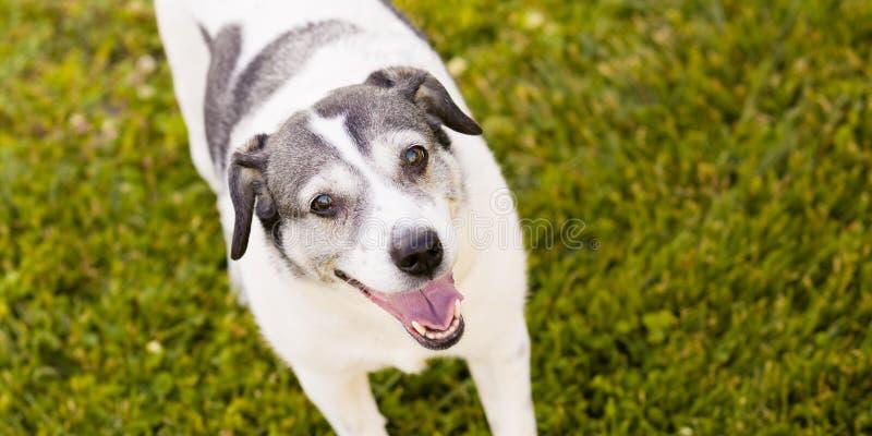 愉快的小猎犬狐狸狗混杂的品种狗 免版税库存图片