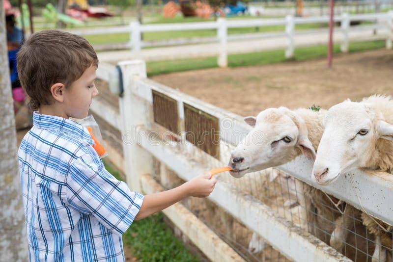 愉快的小男孩哺养的绵羊在白天的一个公园 库存图片