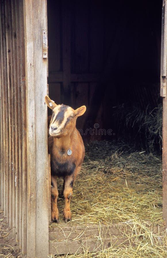 愉快的山羊 库存图片