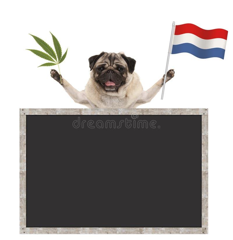愉快的微笑的哈巴狗小狗挥动荷兰的荷兰国旗的和大麻除草叶子,有空白的黑板的 库存图片