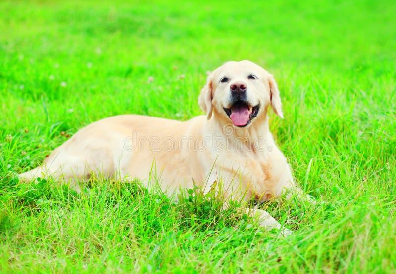 愉快的快乐的金毛猎犬狗是说谎的休息 图库摄影
