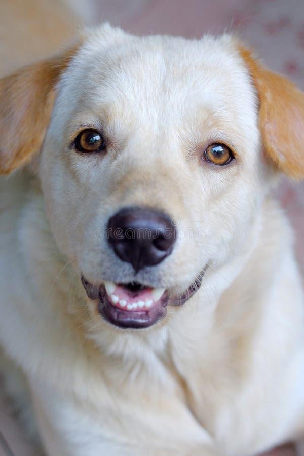 愉快的棕色逗人喜爱的小狗画象  顶头射击 免版税库存照片