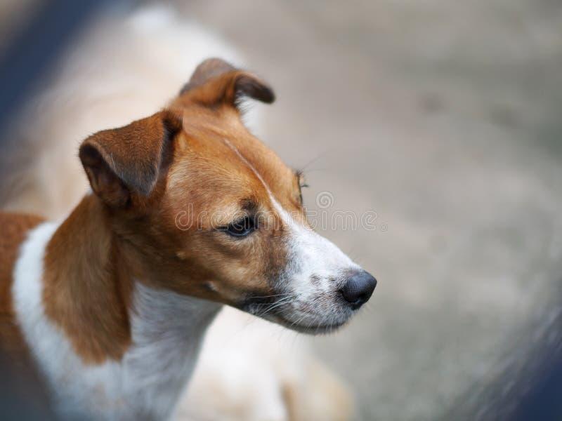 愉快的活跃幼小英俊的杰克罗素狗狗 免版税库存图片