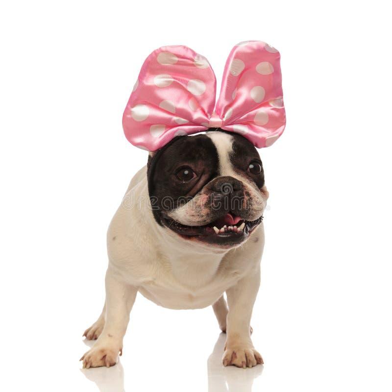愉快的牛头犬佩带与白色小点的一条桃红色顶头丝带 库存照片