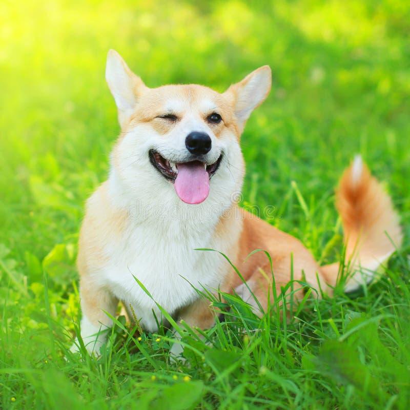 愉快的狗威尔士小狗彭布罗克角坐草在晴朗的夏天 免版税库存照片
