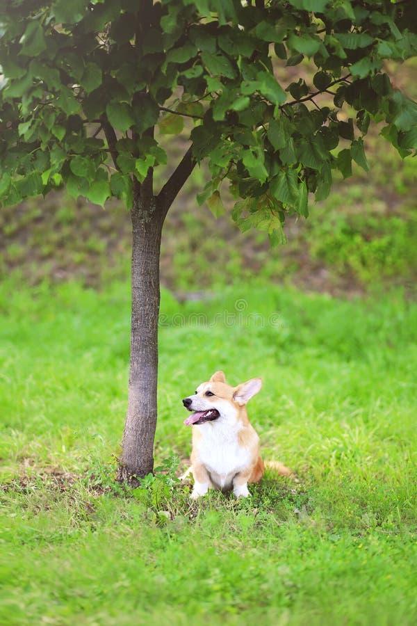 愉快的狗威尔士小狗彭布罗克角坐绿草在树附近在夏天 免版税图库摄影