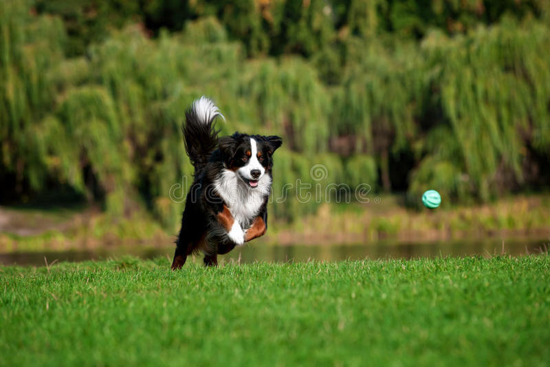 愉快的狗跳跃的跑在夏天路 免版税库存图片