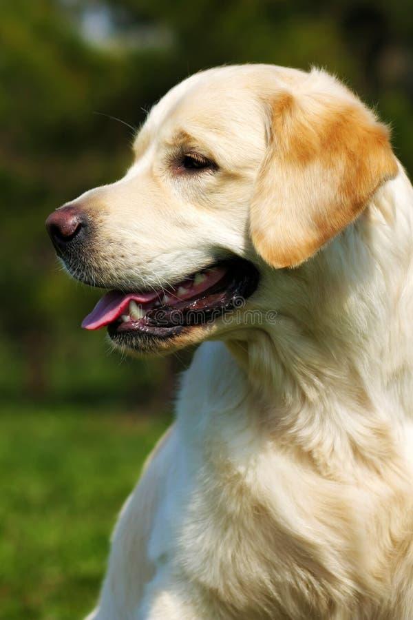 愉快的狗金毛猎犬在自然的夏天 库存照片