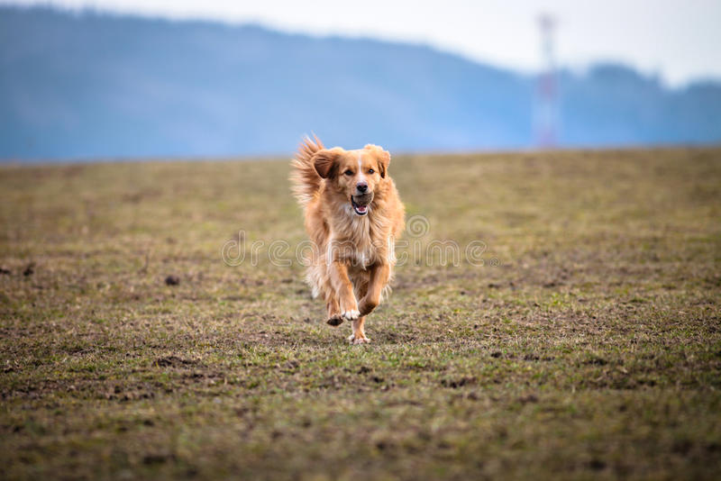 愉快的狗,跑与球 免版税库存图片