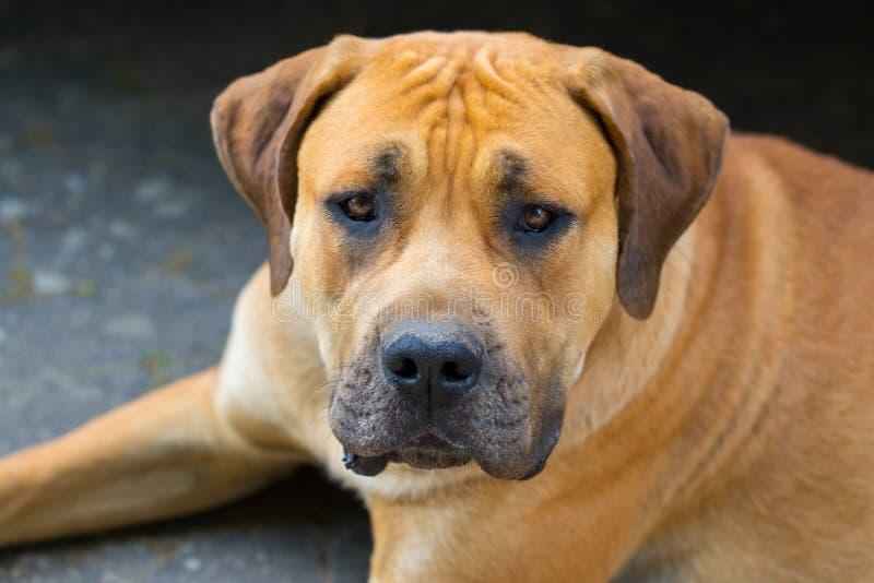 愉快的狗Boerboel,南非大型猛犬画象  库存图片