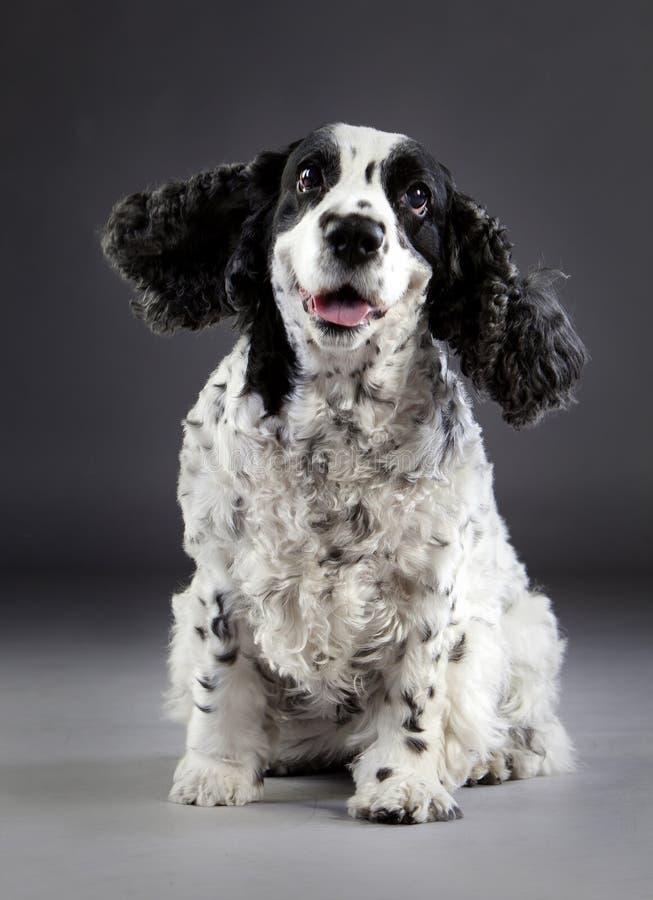 愉快的猎犬狗 免版税图库摄影