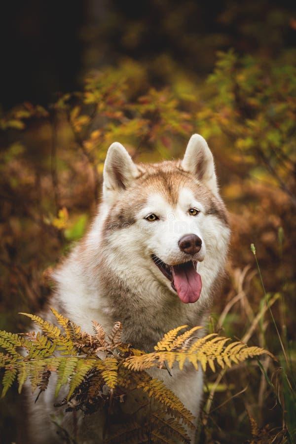 愉快的米黄西伯利亚爱斯基摩人特写镜头画象在秋季的在森林背景 多壳的狗的图象在秋天 免版税库存图片