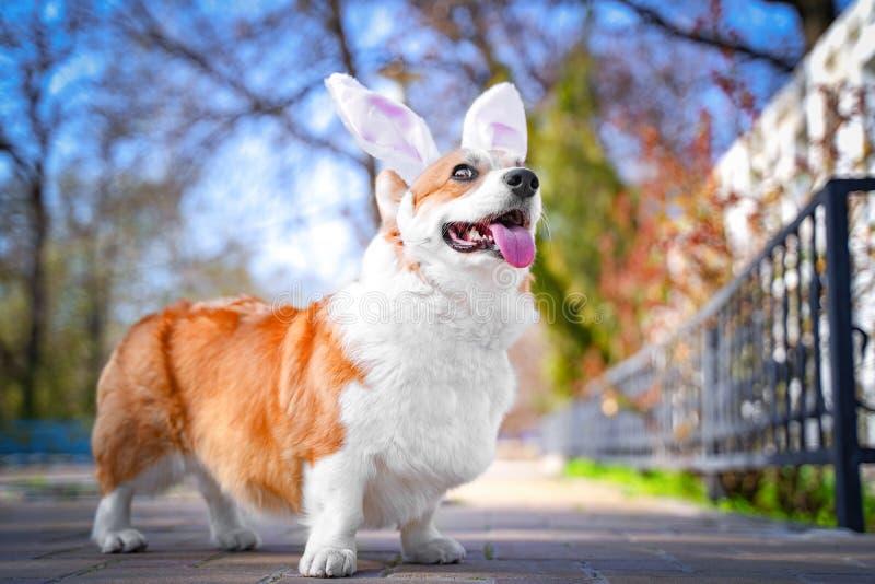 愉快的纯血统威尔士小狗狗装饰与兔宝宝复活节庆祝的耳朵服装的步行在公园在晴朗的草坪 免版税图库摄影