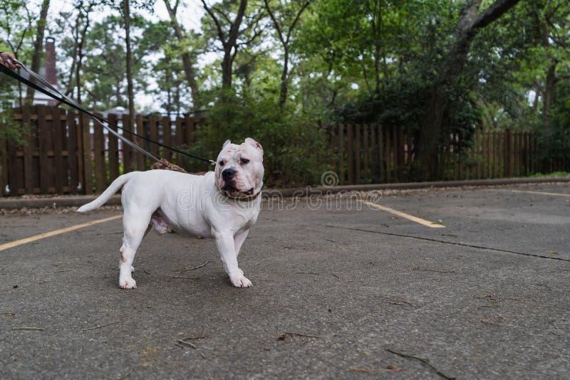 愉快的美国恶霸狗在春天 免版税库存图片