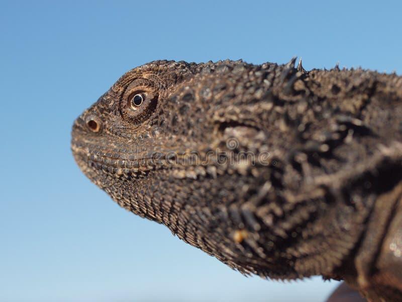 愉快的蜥蜴 免版税库存照片