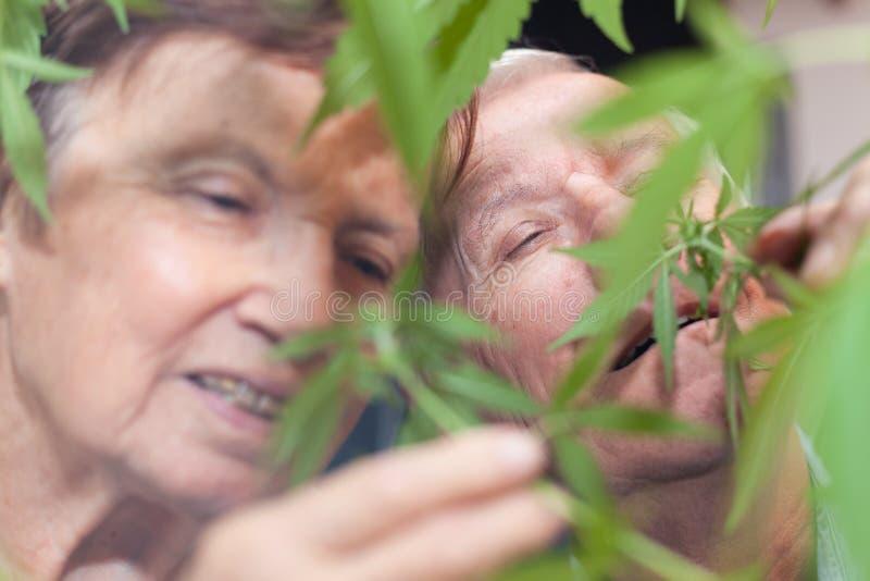 愉快的资深夫妇嗅到的大麻植物 库存图片
