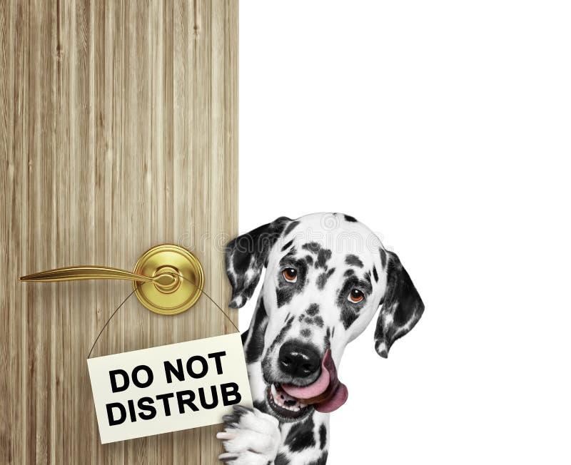 愉快的达尔马提亚狗偷看从门的后面 查出在白色 免版税库存照片