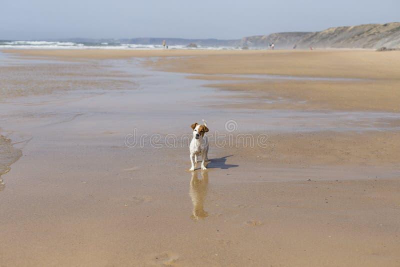 愉快的逗人喜爱的幼小小狗获得乐趣在海滩 o ?? 户外宠物 E 免版税库存图片