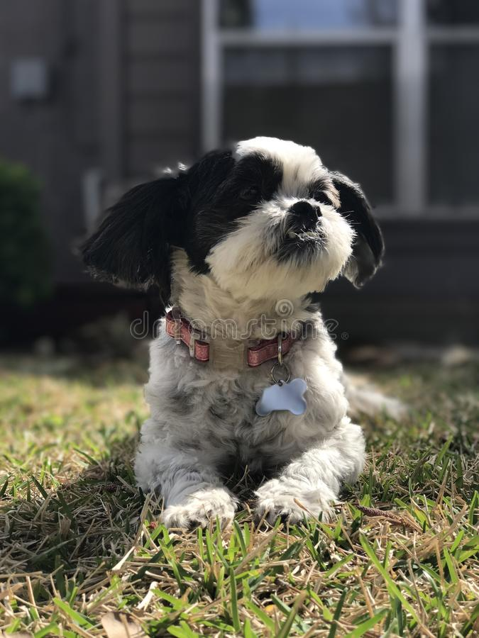 愉快的Shitzu小狗 库存图片