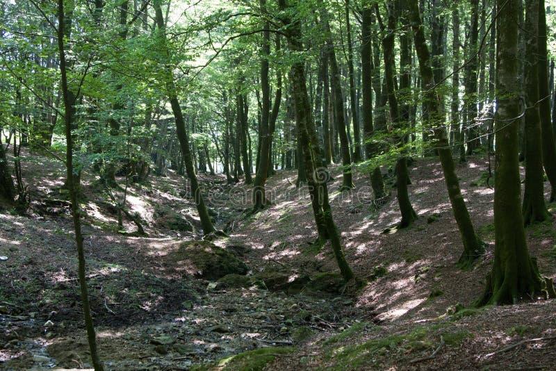 意大利卡拉布里亚Aspromonte -山毛榉老树- 免版税库存照片