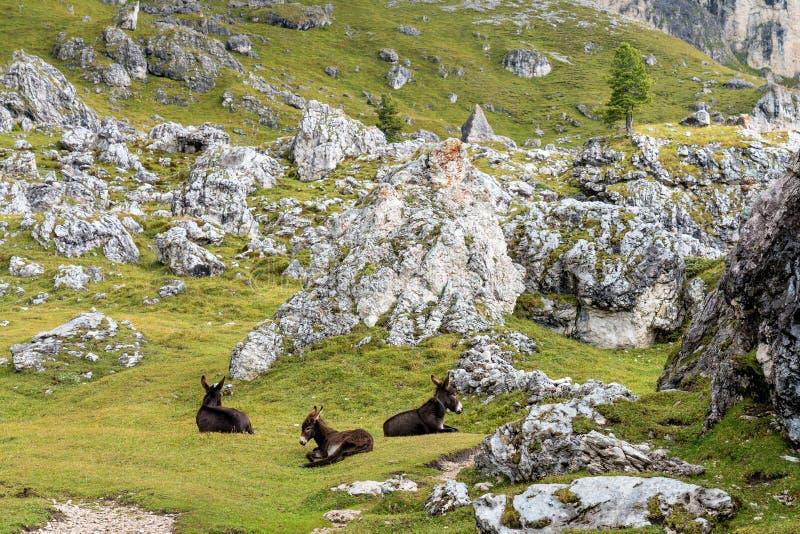 意大利多洛米蒂山脉的驴子,在意大利的Col Raiser远足径上 库存照片