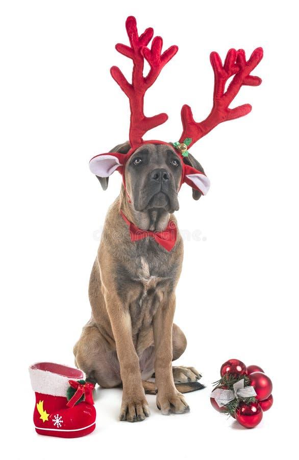 意大利大型猛犬小狗 免版税库存图片