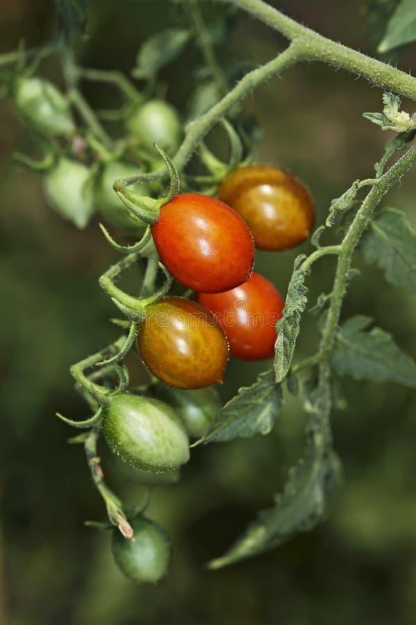 意大利意大利小的蕃茄 库存图片