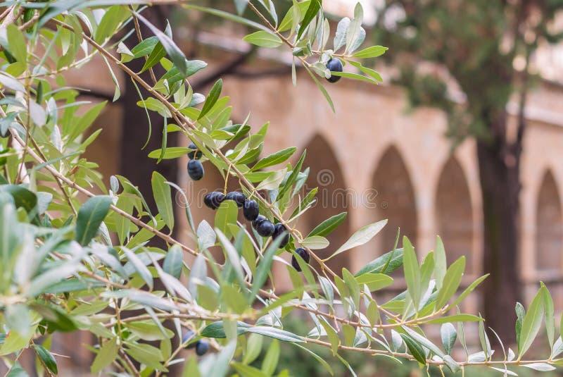 意大利新成熟油橄榄栽培在mediterrinean建筑学背景的树 免版税库存图片