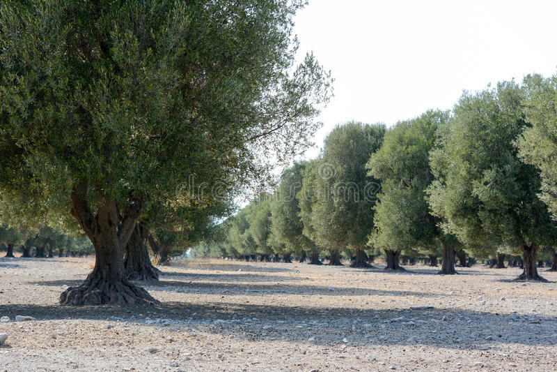 意大利橄榄树 免版税库存图片