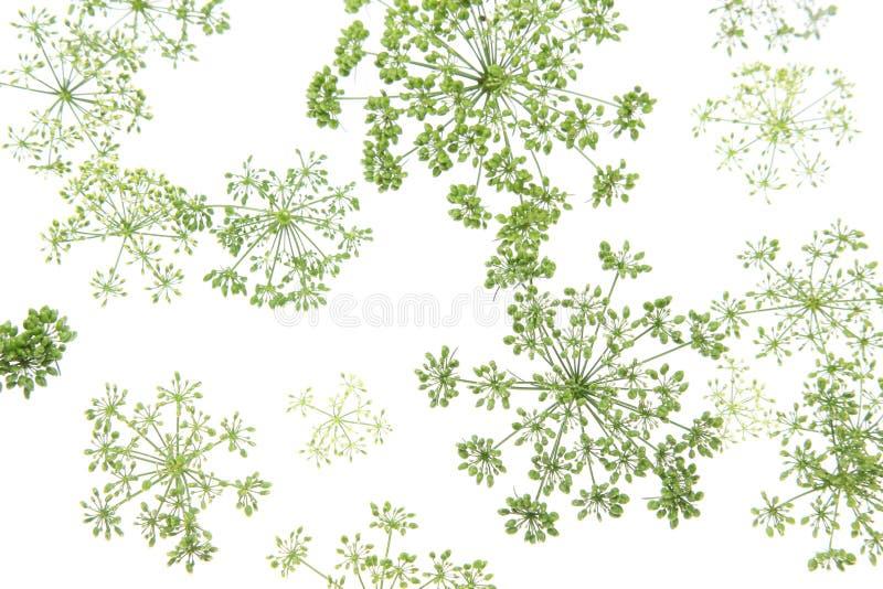 意大利欧芹头状花序在白色背景中 免版税库存照片
