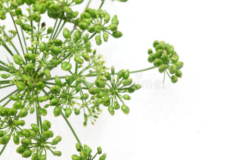 意大利欧芹头状花序在白色背景中 库存图片