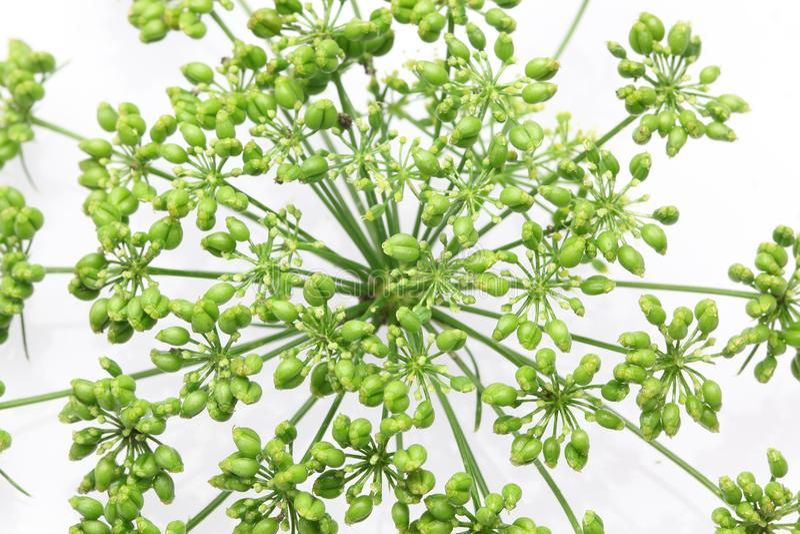 意大利欧芹头状花序在白色背景中 免版税库存图片