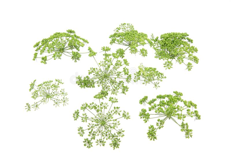 意大利欧芹头状花序在白色背景中 库存照片