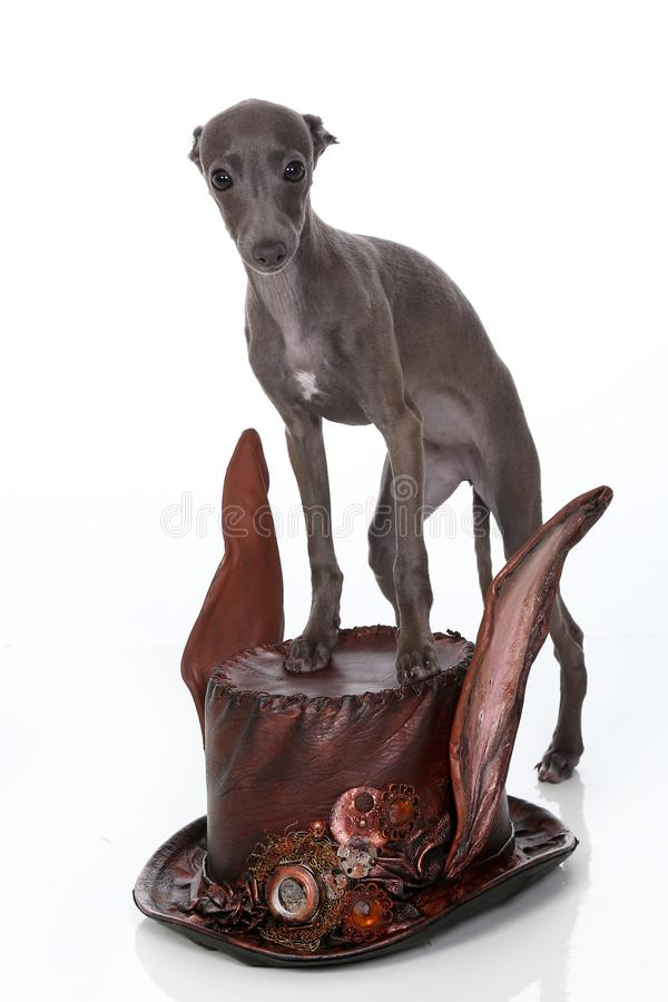 意大利灵狮小狗在steampunk样式帽子站立 库存照片