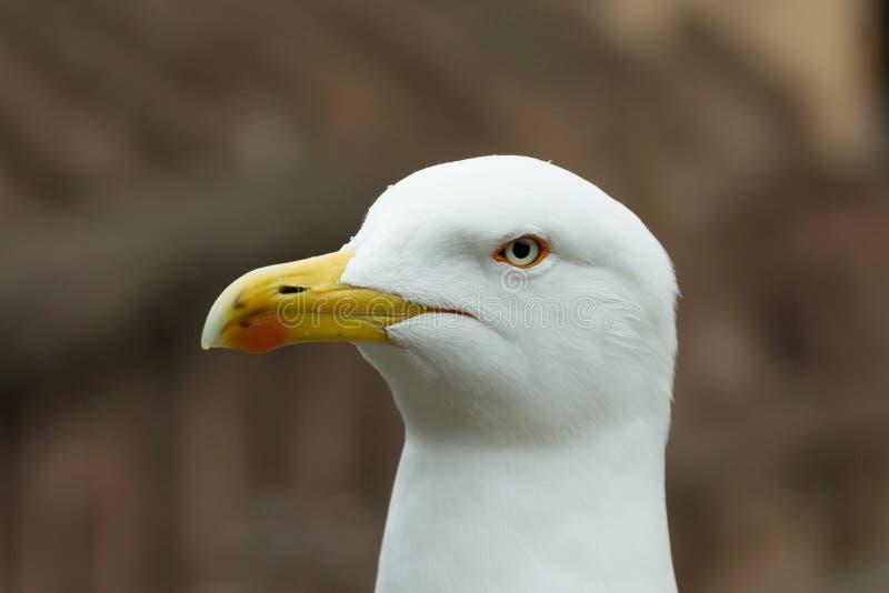 意大利罗马罗马罗马罗马斗兽场背景中,海鸥的特写是眼睛和喙 顶视图 免版税库存图片