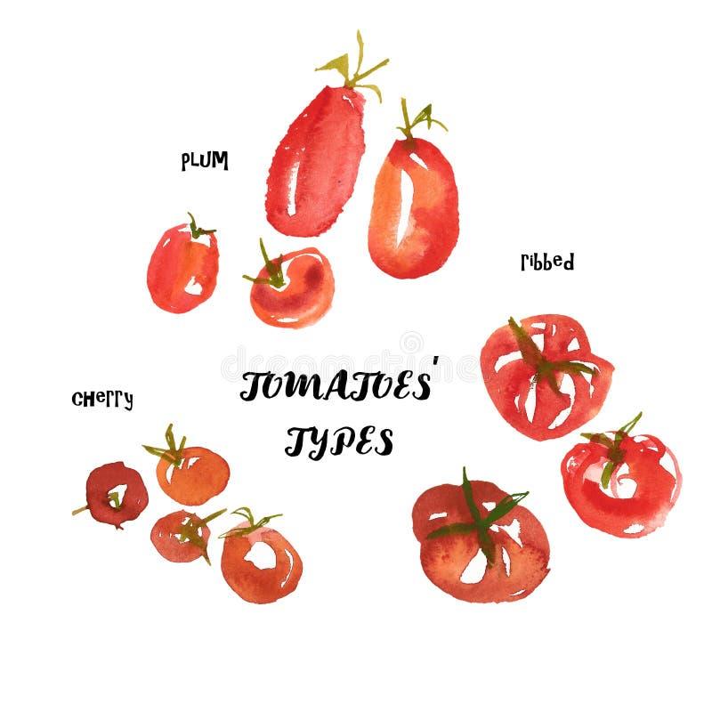 意大利蕃茄类型:樱桃,被取笑,李子 现代水彩食物例证 背景查出的白色 库存例证