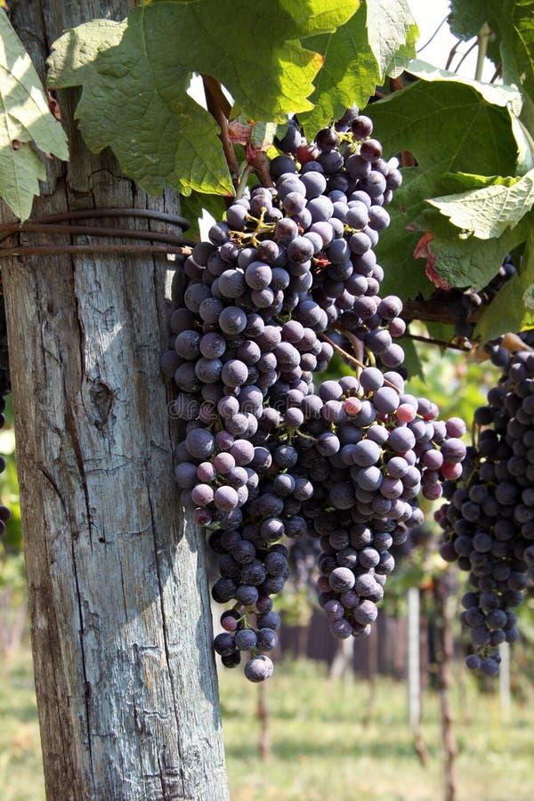 意大利语的葡萄 库存照片