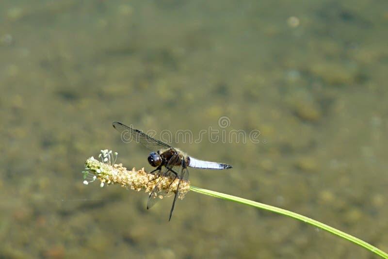 意大利,伦巴第,沿阿达河河,摆在花的蜻蜓 库存照片