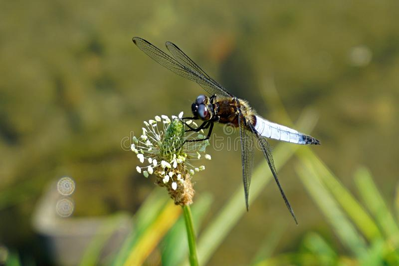 意大利,伦巴第,沿阿达河河,摆在花的蜻蜓 库存图片