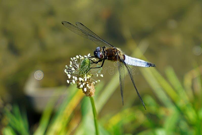 意大利,伦巴第,沿阿达河河,摆在花的蜻蜓 免版税图库摄影